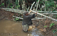 Pygmies making a log dam in a stream