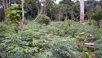 Pygmy cassava plantation near a camp in the African rainforest - Pygmy farming
