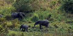 Group of African forest elephants