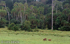 Sitatunga in rain forest clearing