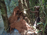Termite gathering of the Baka Pygmies, by piercing and smoking the termite nest